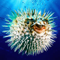 Stem cells and the deadly puffer fish