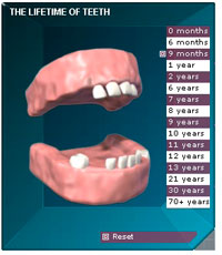 The lifecycle of teeth